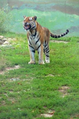 Fototapeta Tygrys bengalski