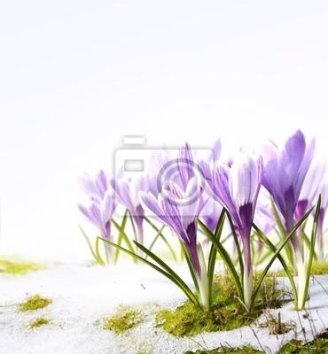 Umění Crocus květiny ve sněhu taje