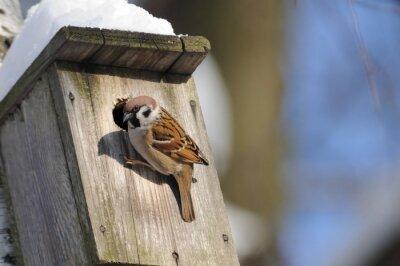 Fototapeta V zimním období končící vrabec polní šetří možné hnízdo sl