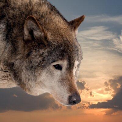 Fototapeta Vedoucí vlka proti západu slunce