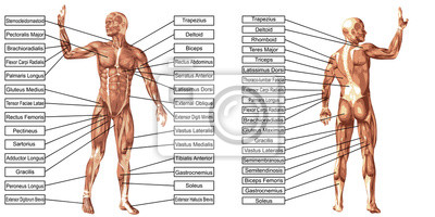Fototapeta Vektor 3D muž sval anatomie s textem izolované