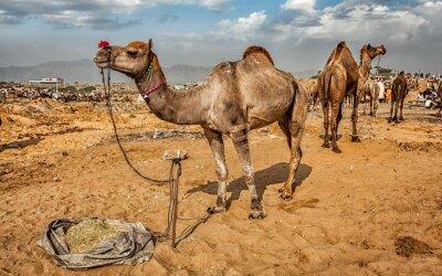 Fototapeta Velbloudi na Pushkar Camel veletrhu Mela, Indie