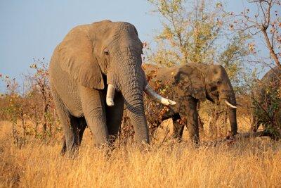 Fototapeta Velké africké sloní samce (Loxodonta africana), Kruger National Park, Jižní Afrika.