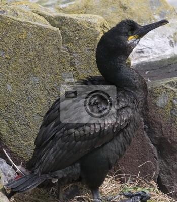 velký černý pták