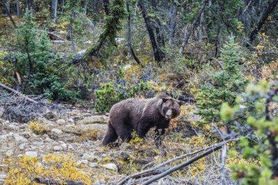 Fototapeta Velký medvěd hnědý hledá žaludy