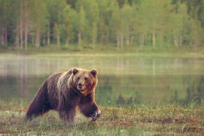 Fototapeta Velký muž medvěd chůze v močálu při západu slunce