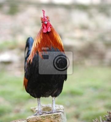 Veľké čierne vtáky kurva obrázky