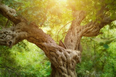 Fototapeta Velký strom v lese