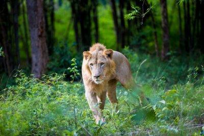 Fototapeta Velmi vzácný lev indický v národním parku v Indii. Tyto národní poklady jsou nyní chráněna, ale vzhledem k růstu měst nikdy nebudou moci pohybovat Indii, jak bývaly.