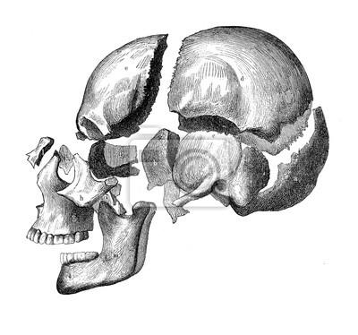 Fototapeta Vintage ilustrace anatomie, lebka s čelistí a zuby, zobrazení rozkladu kostí