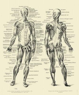 Fototapeta Vintage ilustrace anatomie, lidské kompletní svalové struktury vpředu a vzadu s italskými anatomickými popisy