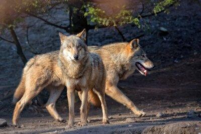 Fototapeta Vlci ve volné přírodě