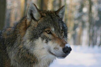 Fototapeta Vlk