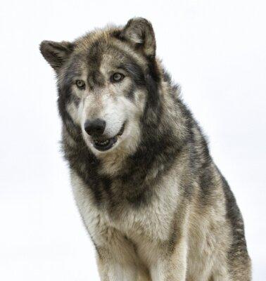 Fototapeta Vlk hlavy na bílém pozadí