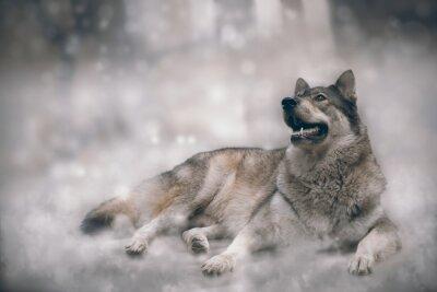 Fototapeta Vlk / Pěkný vlk na sněhu pozadí.