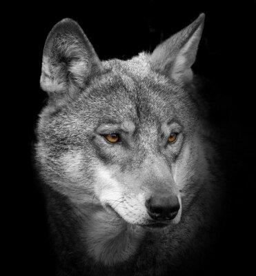 Fototapeta vlk portrét