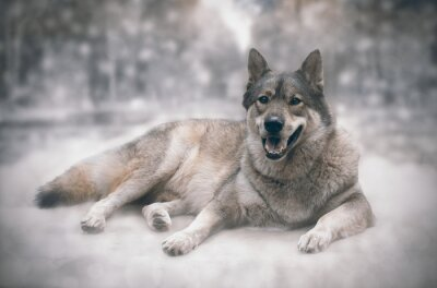 Fototapeta Vlk / Šťastný vlka na pozadí sněhu.