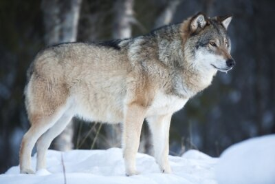 Fototapeta Vlk stojí v chladném zimním lese