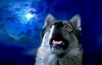 Fototapeta Vlk / Vlk v noci, vyberte možnost zaměřit se na oči. Digitální retuš.