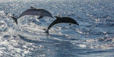 Fototapeta volné plavání delfínů off Tenerife