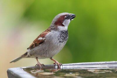 Fototapeta Vrabec domácí (Passer domesticus)