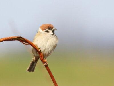 Fototapeta Vrabec polní na pobočce, Passer montanus