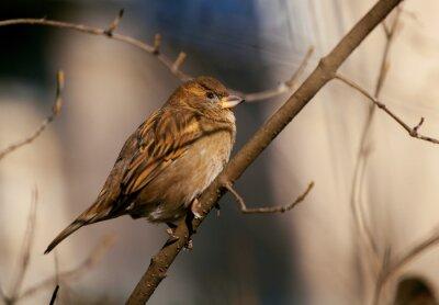 Fototapeta vrabec sedí na větvi