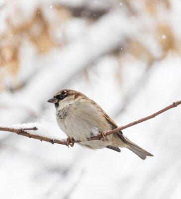 Fototapeta Vrabec zimní přírody