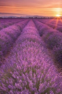 Fototapeta Východ slunce nad poli levandule v Provence, Francie