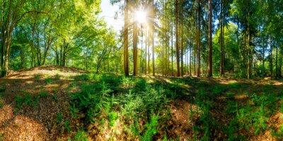 Fototapeta Wald mit alten Bäumen und Sonne, die eine lichtung erleuchtet