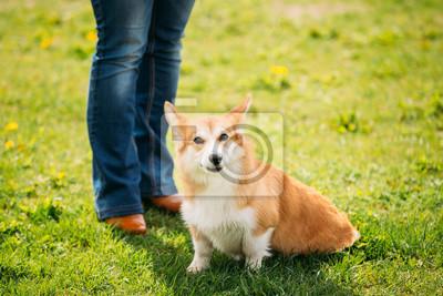 96f3a3cc171 Fototapeta  Welsh corgi pes štěně sedí u nohou majitele v létě zelené trávě