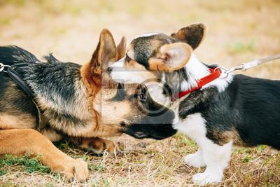 4bfb8ab44a4 Fototapeta  Welsh corgi štěně a štěně německý ovčák