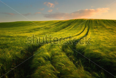 Fototapeta Wheat field landscape with path in the sunset time
