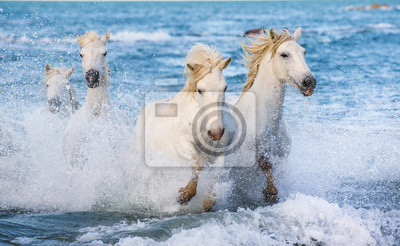 Fototapeta White Camargue horses galloping on the blue water of the sea with splashes and foam. France.