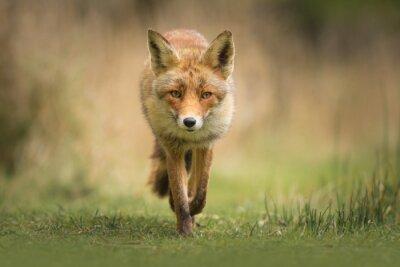 Fototapeta Wild červená liška