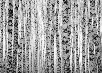 Fototapeta Winter břízy kmeny