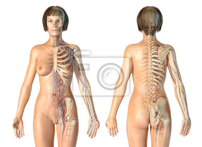 Fototapeta Woman anatomy cardiovascular system with skeleton, rear and front views.