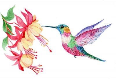 Fototapeta акварель, маленькая птичка колибри, иллюстрация