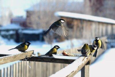 Fototapeta птица синица зима кормушка много