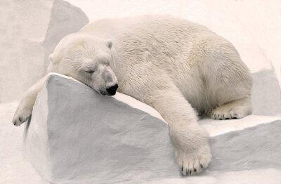 Fototapeta Белый медведь спит.