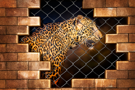 Fototapeta Young leopard internal the cage in concept of resist torture and torture the wildlife