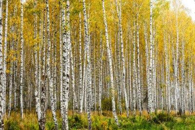 Fototapeta Začátkem podzimu březový háj