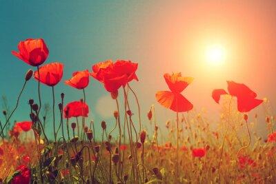 Fototapeta Západ slunce nad vlčí máky pole