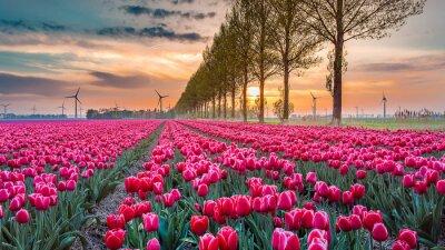 Fototapeta západ slunce tulipán 05