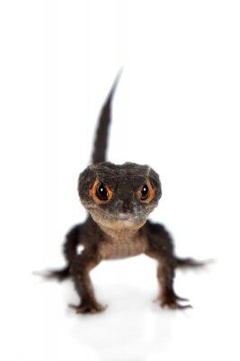 Fototapeta Zarudlé oči krokodýlů skinks, Tribolonotus gracilis, na bílém