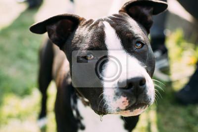 85fc25817f4 Fototapeta  Zavřít pohled na americký stafordšírský teriérský pes
