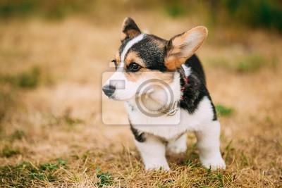 158b3c0e06d Fototapeta  Zavřít portrét mladé šťastný štěně velškorgi pes