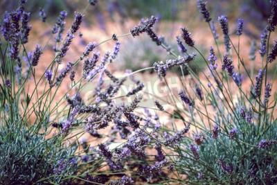 Fototapeta Zblízka levandule pole. Rozostření filtrovaný shot s selektivní zaměření