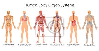 Fototapeta Zdravotnická schémata biologie pro diagram lidských orgánů