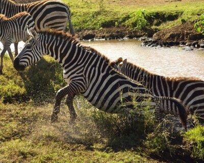 Fototapeta Zebra sair da água